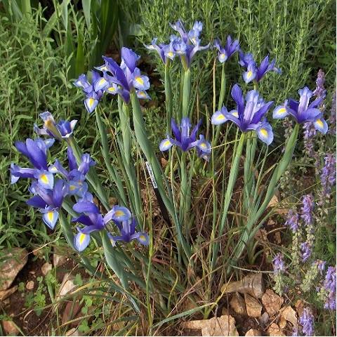 Iris xiphium - Iris d'Espagne