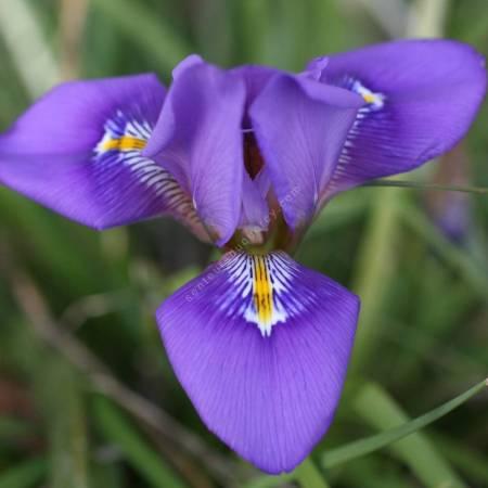 Iris unguicularis 'fleur violet foncé', Iris d'Alger