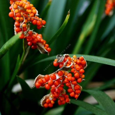 Iris foetidissima -Iris gigot
