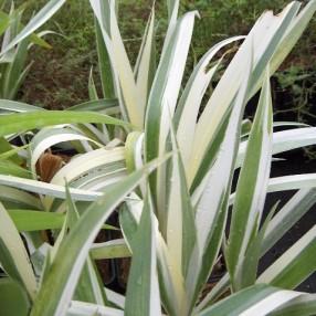 Iris japonica 'Variegata'