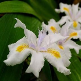 Iris japonica - Iris du Japon