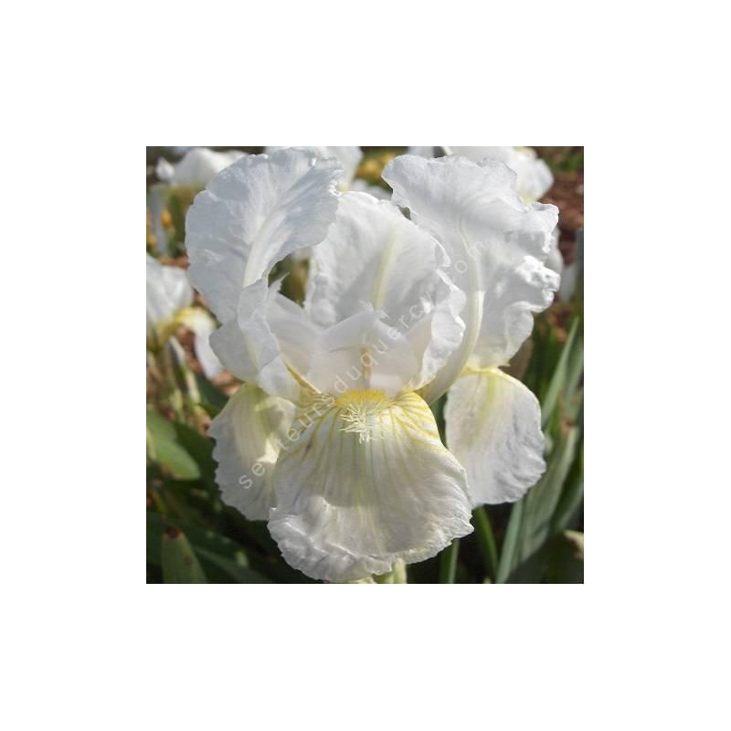 Iris florentina - Iris de Florence des parfumeurs