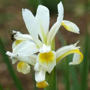 Iris spuria subsp. halophila