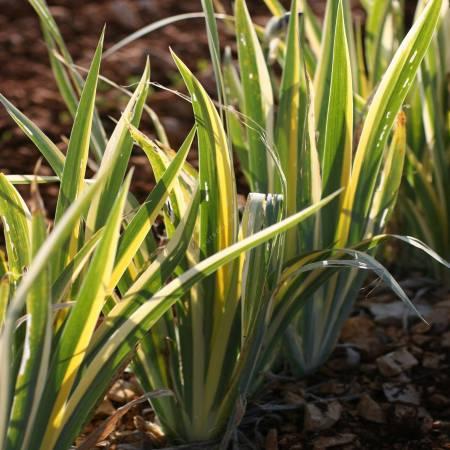 Iris pallida 'Variegata Aurea'