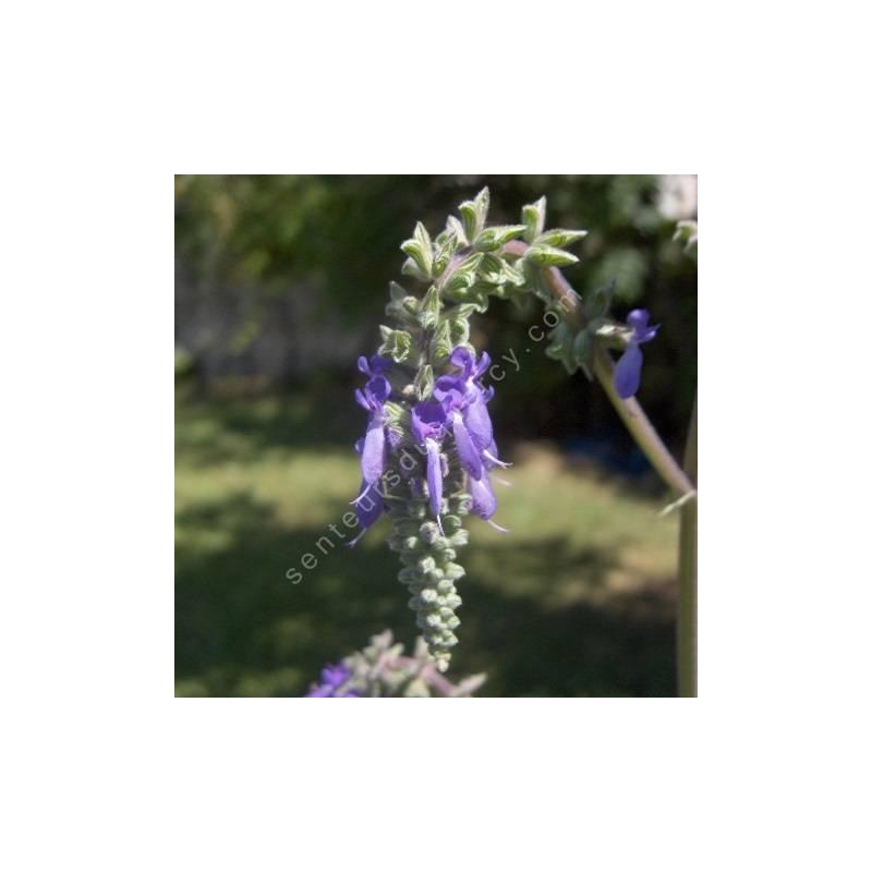 fleur de Salvia nutans - Sauge inclinée