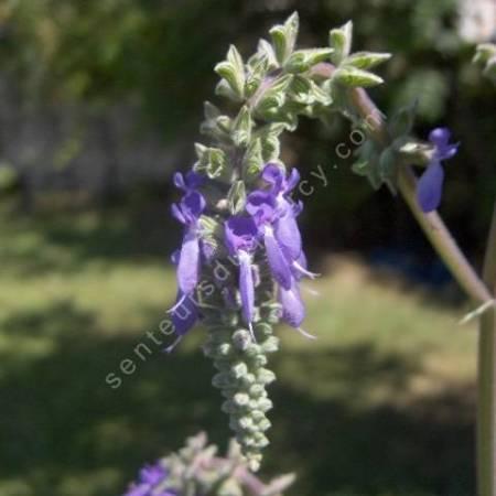 Salvia nutans, Sauge