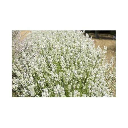 Lavandula angustifolia 'Blue Mountain White', Vraie Lavande blanche