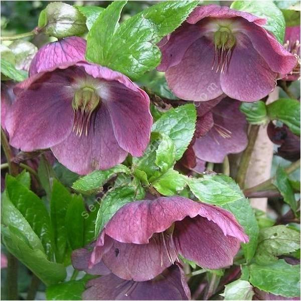 Helleborus orientalis rose de car me plante vivace for Plante verte vivace