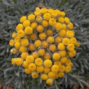 Helichrysum orientale, Immortelle d'orient