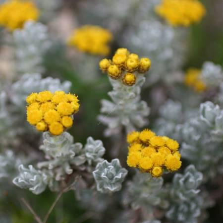 Helichrysum splendidum - Immortelle splendide