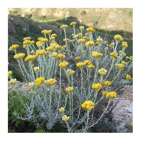 Helichrysum stoechas - Immortelle des dunes