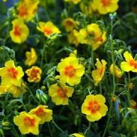 Helianthemum 'Ben Fhada' - Hélianthème à fleur jaune