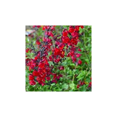 Fleur de Salvia 'Rêve Rouge' - Sauge arbustive rouge foncée