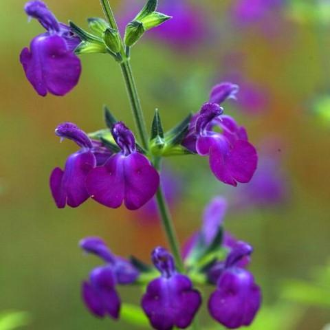 https://www.senteursduquercy.com/3471-thickbox/salvia-christine-yeo-sauge-arbustive-violette.jpg