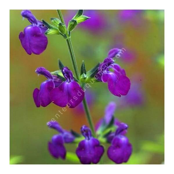 Fleur de Salvia 'Christine Yeo' - Sauge arbustive violette