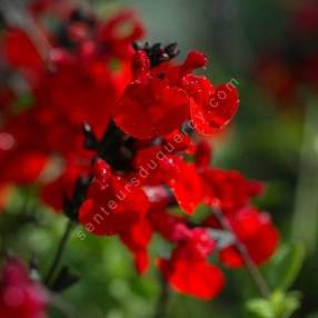 Fleur de Salvia 'Royal Bumble' - Sauge arbustive rouge foncée