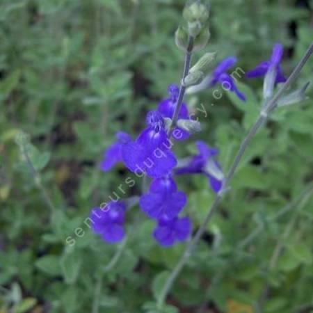 Fleur de Salvia chamaedryoides - Sauge arbustive bleue