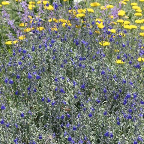 Salvia chamaedryoides var. isochroma - Sauge arbustive bleue