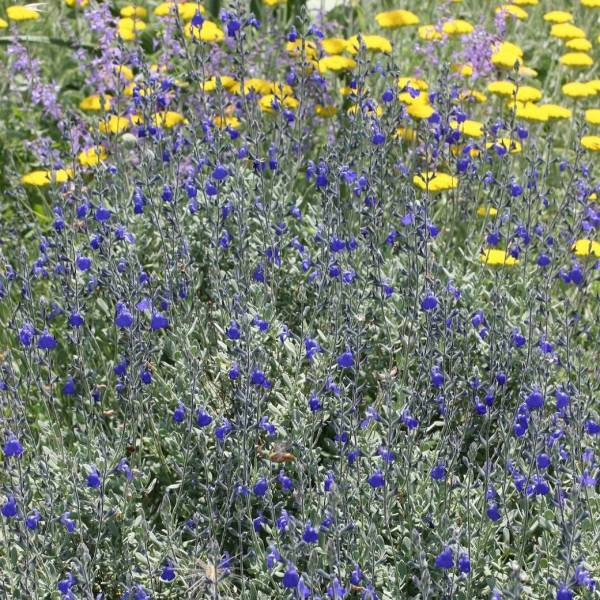 touffe de Salvia chamaedryoides var. isochroma - Sauge arbustive bleue