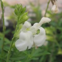 Salvia greggii 'Alba' - Sauge de Gregg blanche