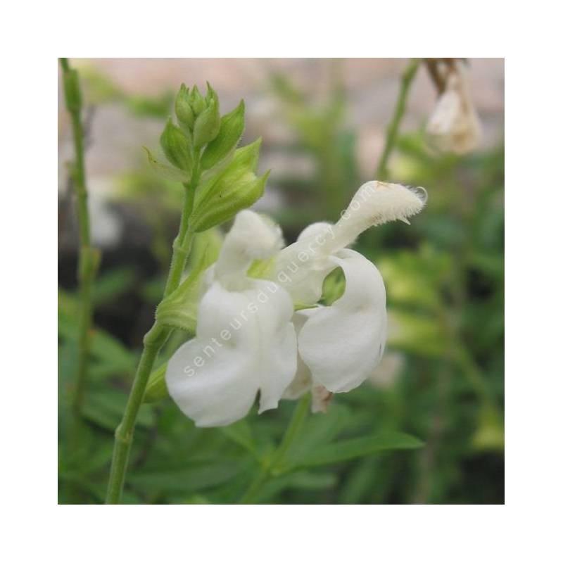 Fleur de Salvia greggii 'Alba' - Sauge de Gregg blanche