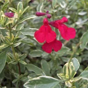 Salvia greggii 'Desert Blaze' - Sauge de Gregg panachée