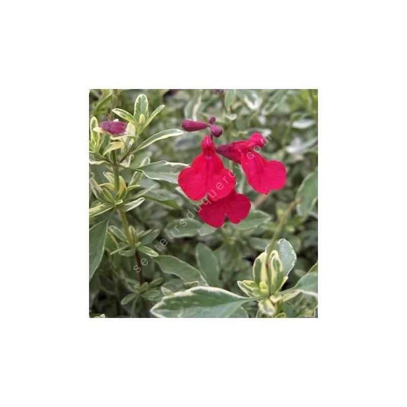 Fleur de Sauge de Gregg panachée - Salvia greggii 'Desert Blaze'