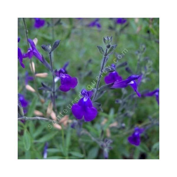Fleur de Salvia lycioides - Sauge arbustive violette