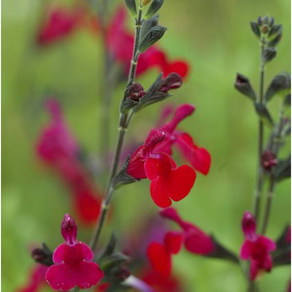 grappe de Salvia 'Bordeaux' - Sauge arbustive