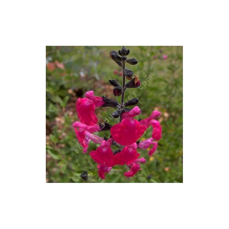 Fleur de Salvia 'Pink Blush' - Sauge arbustive rose