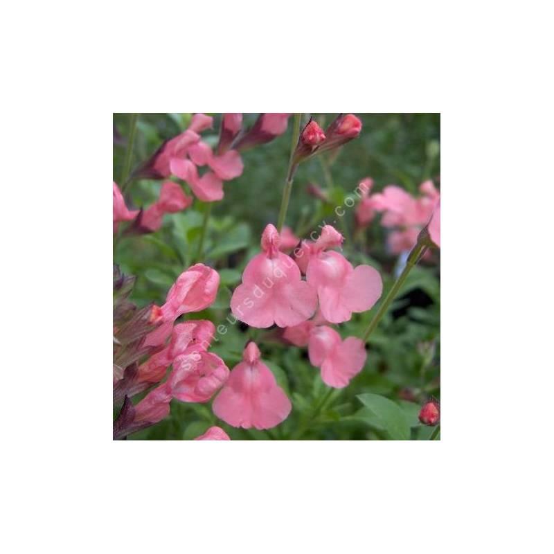 Fleur de Salvia 'Ribambelle' - Sauge arbustive rose