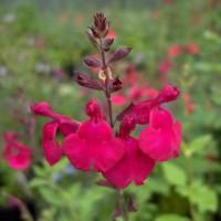 Salvia 'Rapsberry Royale' - Sauge arbustive framboise