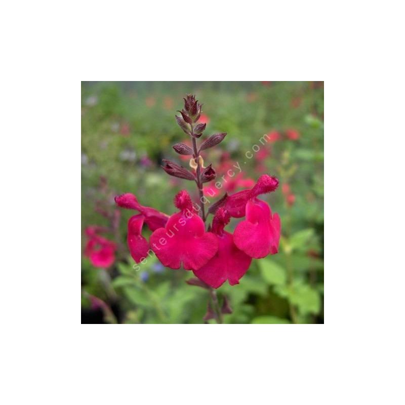 Fleur de Salvia 'Rapsberry Royale' - Sauge arbustive framboise