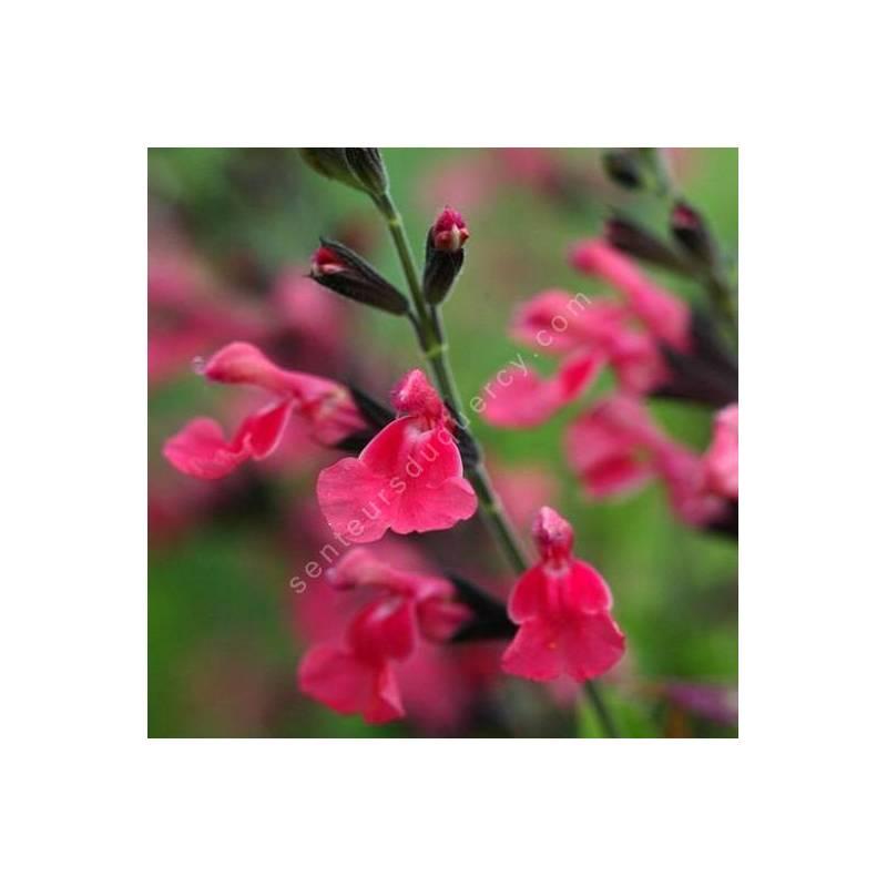 Fleur de Salvia 'La Siesta' - Sauge arbustive rose