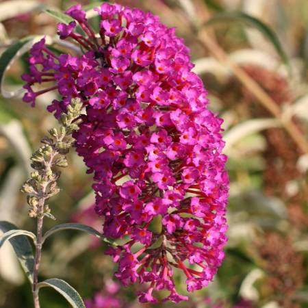 Buddleja davidii 'Nanho Purple'
