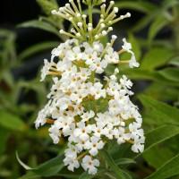 Buddleja davidii 'White Bouquet' - Arbre aux papillons blanc