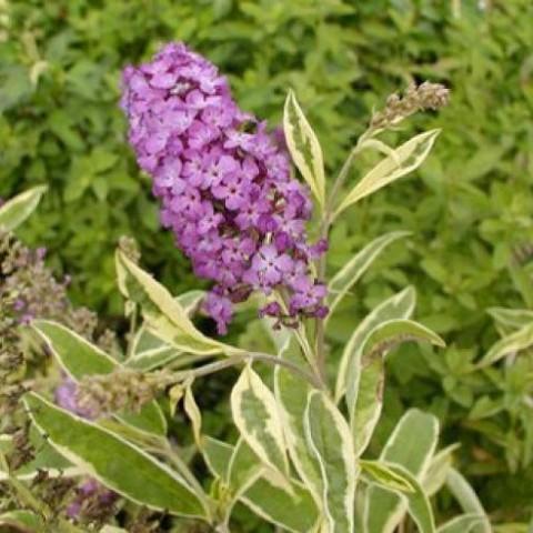 Buddleja davidii 'Harlequin' - Arbre à papillons panaché