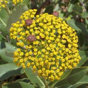 Bupleurum fruticosum - Buplèvre ligneux
