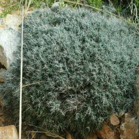 Teucrium subspinosum, Germandrée maritime épineuse