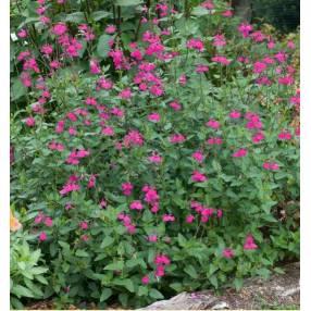 touffe de Salvia 'Cerro Potosi' - Sauge arbustive rose