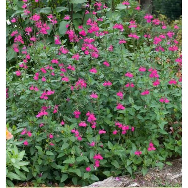 Salvia microphylla 39 cerro potosi 39 vente de sauge arbustive - Planter de la sauge ...