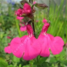 Fleur de Salvia 'Cerro Potosi' - Sauge arbustive rose