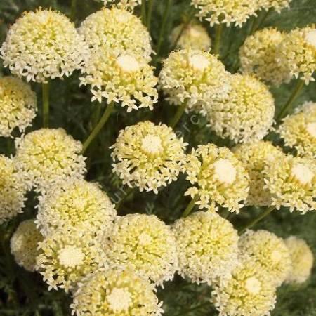 Santolina benthamiana - Santoline à fleurs blanc crème