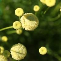 Santolina viridis 'Primrose Gem' - Santoline verte