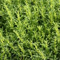 Santolina viridis - Santoline verte
