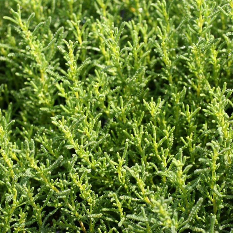 Santolina virens syn. viridis - Santoline verte