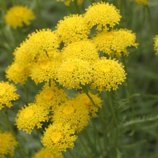 Santolina chamaecyparissus 'Nana'