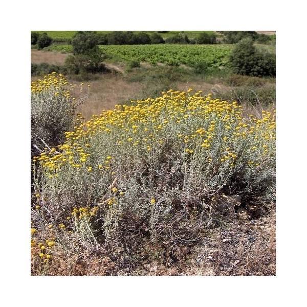 Santolina chamaecyparissus - Santoline petit cyprès