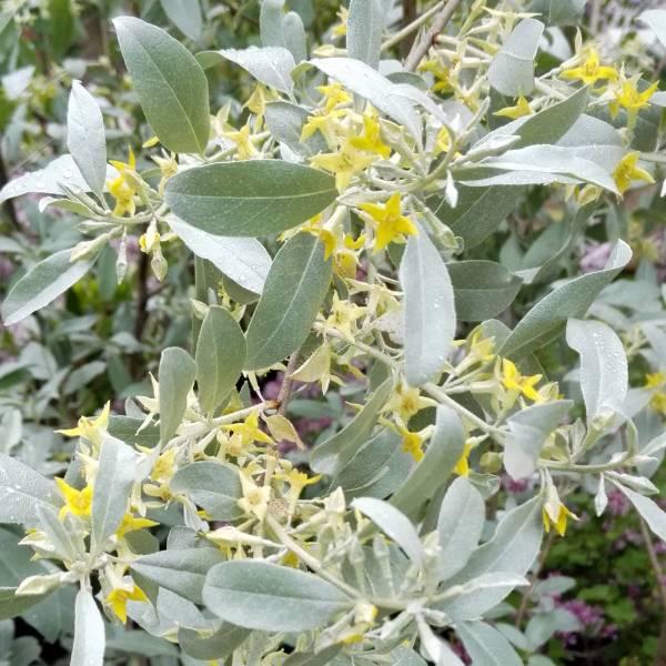 elaeagnus angustifolia olivier de boh me arbuste pour jardin sec. Black Bedroom Furniture Sets. Home Design Ideas