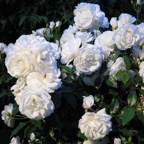 https://www.senteursduquercy.com/3543-thickbox/rosa-iceberg-rosier-fee-des-neiges-.jpg